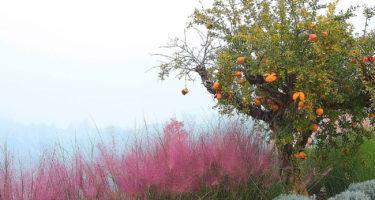 È nell'autunno che la Muhlbergia capillaris regala la sua copiosa fioritura leggiadra e rosata.