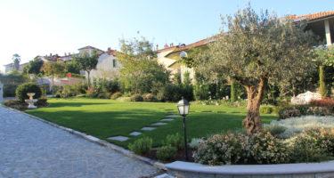 Aiuola in stile mediterraneo con un ulivo ai cui piedi trovano posto delle Abelie grandiflora e Cerastium tomentosum.