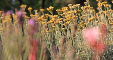 I gruppi di Helycrisum profumano l'ambiente circostante con il loro aroma di liquirizia.
