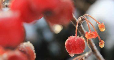Il Malus red sentine colora l'inverno con numerosissimi frutti che persistono fino ad inizio primavera.