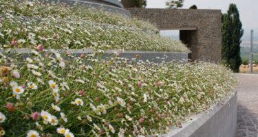 L'Erigeron Karvinskianus fiorisce senza sosta anche nelle posizioni più difficili, dove sole e caldo soffocante mettono a dura prova la maggior parte delle piante.