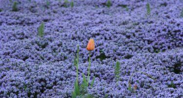 Questo tulipano spicca in mezzo alla fioritura viola della Micromeria.