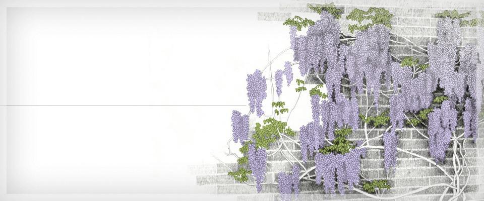 Piante rampicanti ornamentali e da giardino miretti - Alberelli da giardino sempreverdi ...