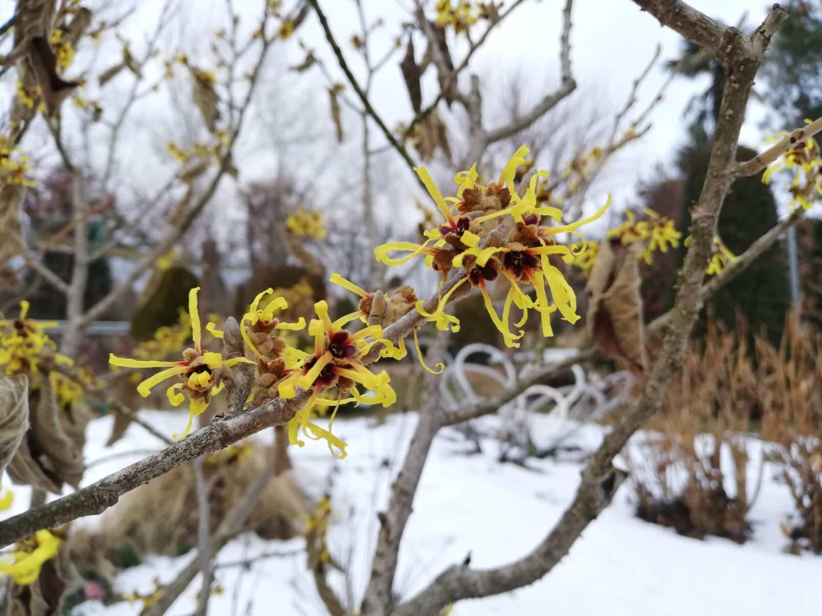 Calicanto Fiore D Inverno giardino d'inverno? - miretti vivai & giardini